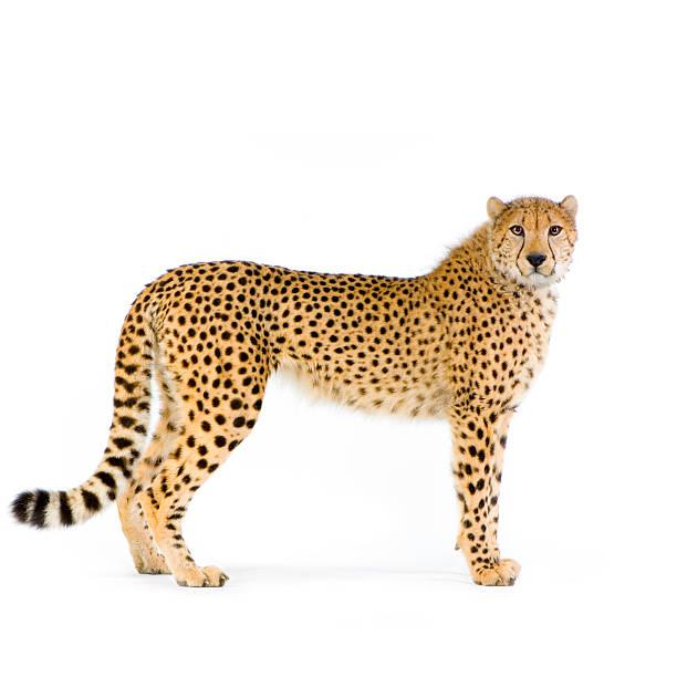 lone cheetah standing up on white background - jachtluipaard stockfoto's en -beelden