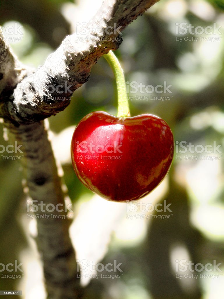 Lone Cherry royalty-free stock photo