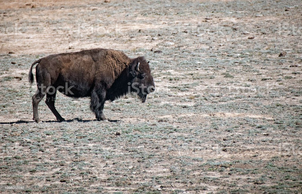 Lone Colorado Bison stock photo
