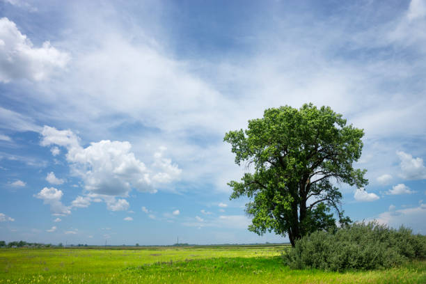 Lone Cottonwood Tree on Summer Prairie Lone cottonwood tree on flat green prairie under cloud filled blue sky in North Dakota,USA cottonwood tree stock pictures, royalty-free photos & images