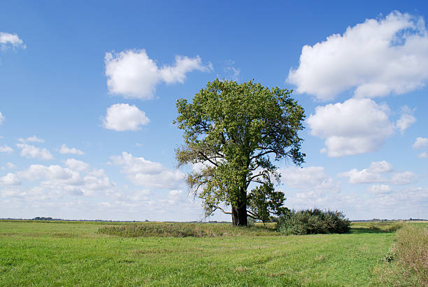 "lone cottonwood tree ""lone cottonwood tree on prairie grassland under beautiful summer sky.  Location: North Dakota, USA"" cottonwood tree stock pictures, royalty-free photos & images"