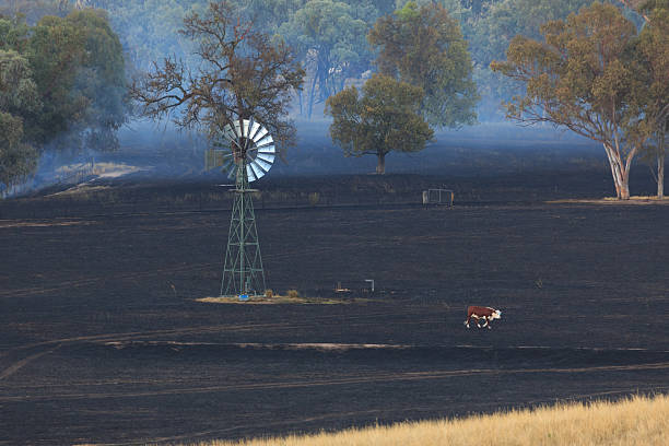 lone cow at bushfire aftermath - single pampas grass bildbanksfoton och bilder