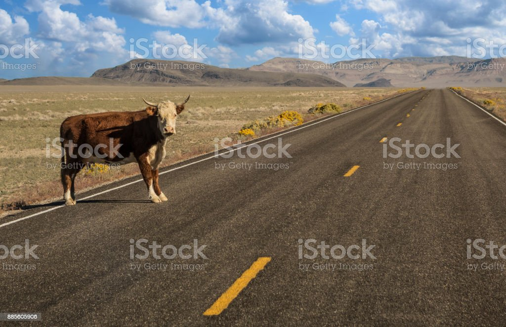 Lone cow on the road stock photo