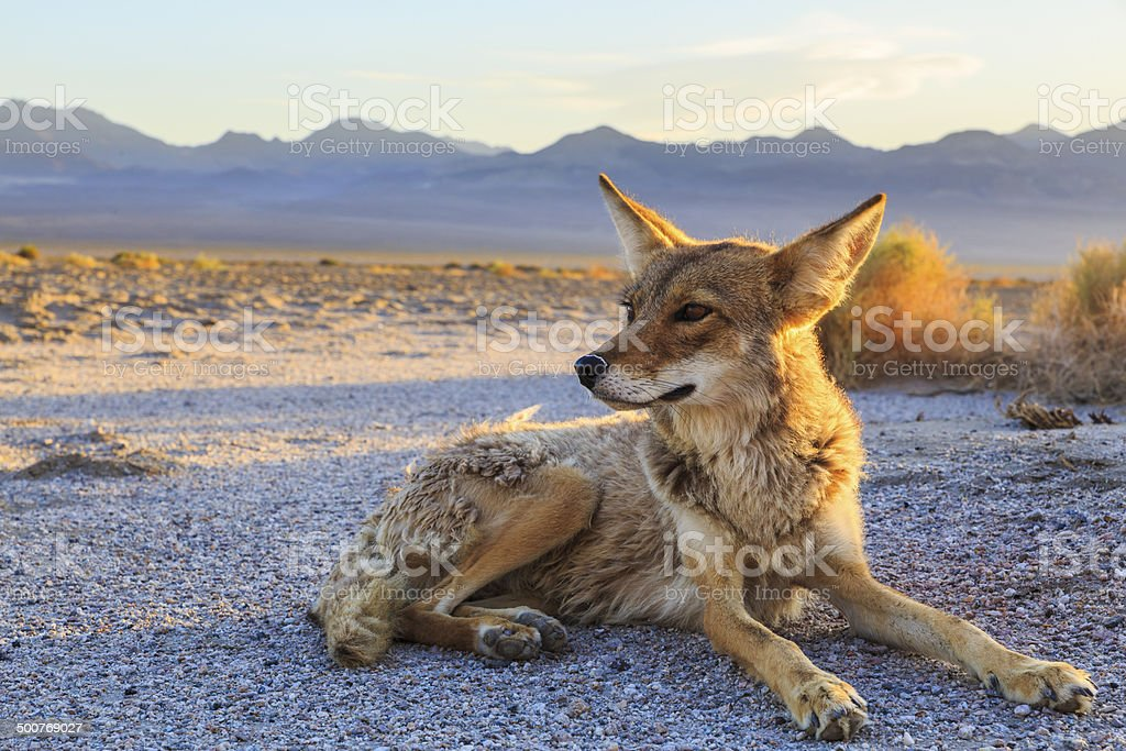 Lone Coyote settling in for the night stock photo