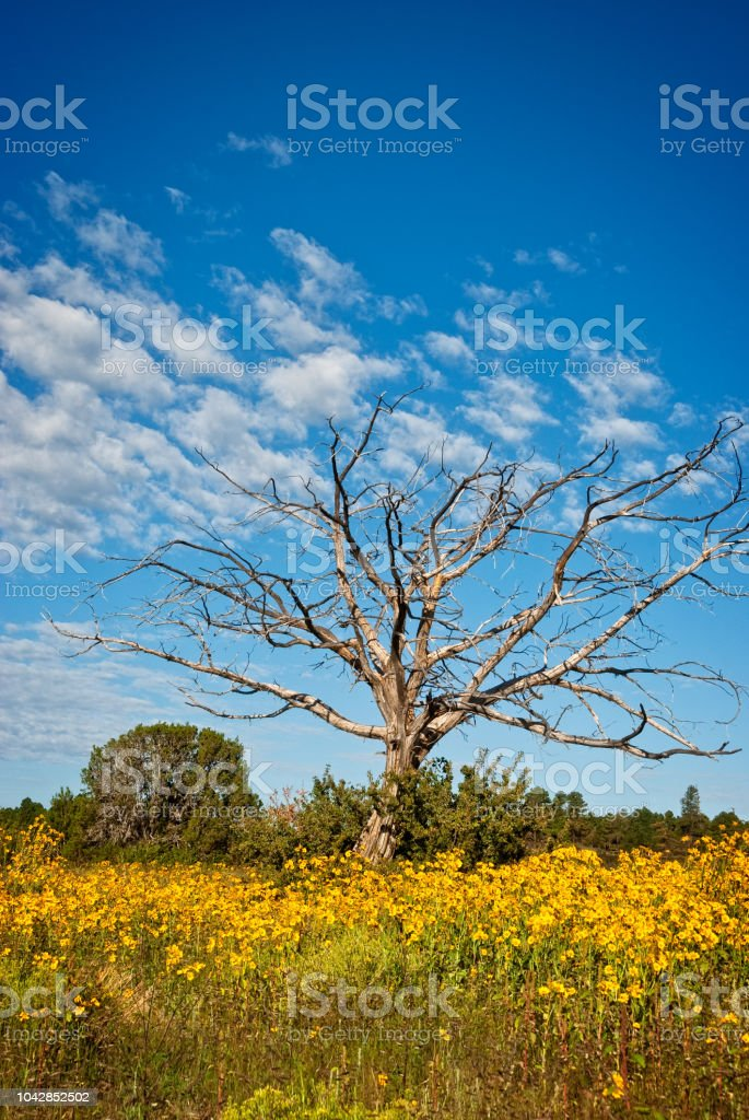 Lone Dead Tree Surrounded by Sunflowers stock photo