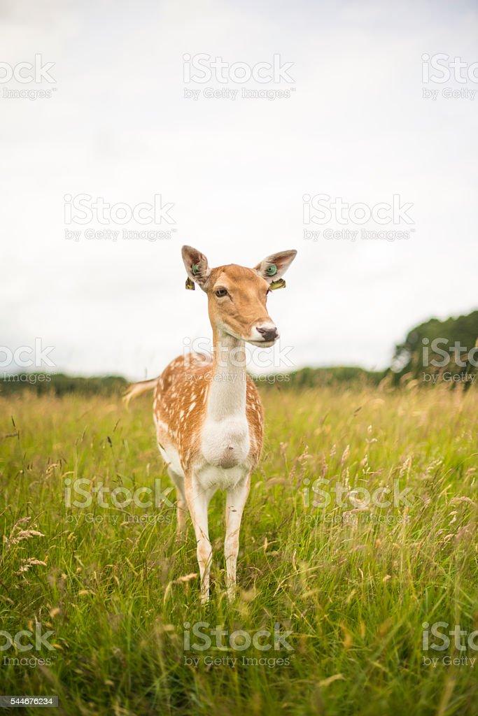 Fotografía de Ciervos Solitario En El Parque Fénix Dublín y más ...