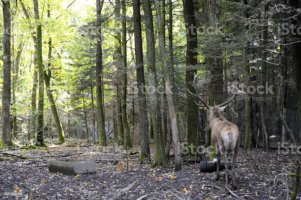 Lone deer in the woods expects love stock photo
