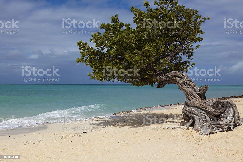 Lone Divi Tree stock photo