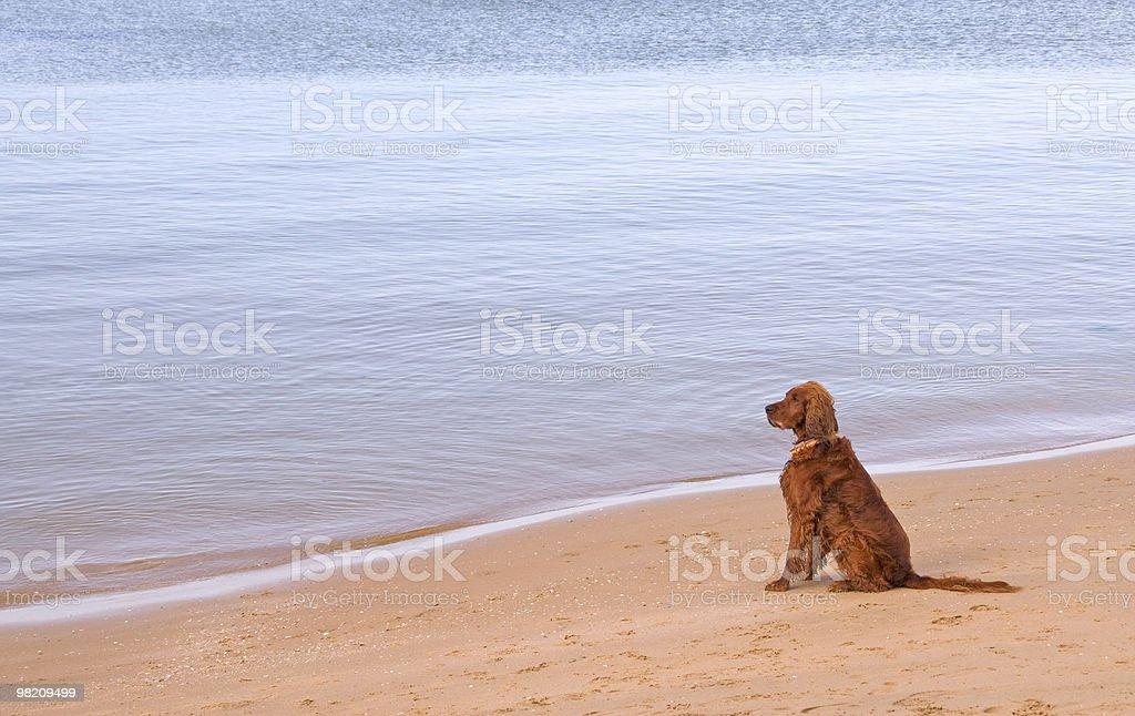 Lone dog on Beach royalty-free stock photo