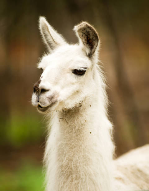 Lone Domestic Llama Farm Livestock Animals Alaska stock photo