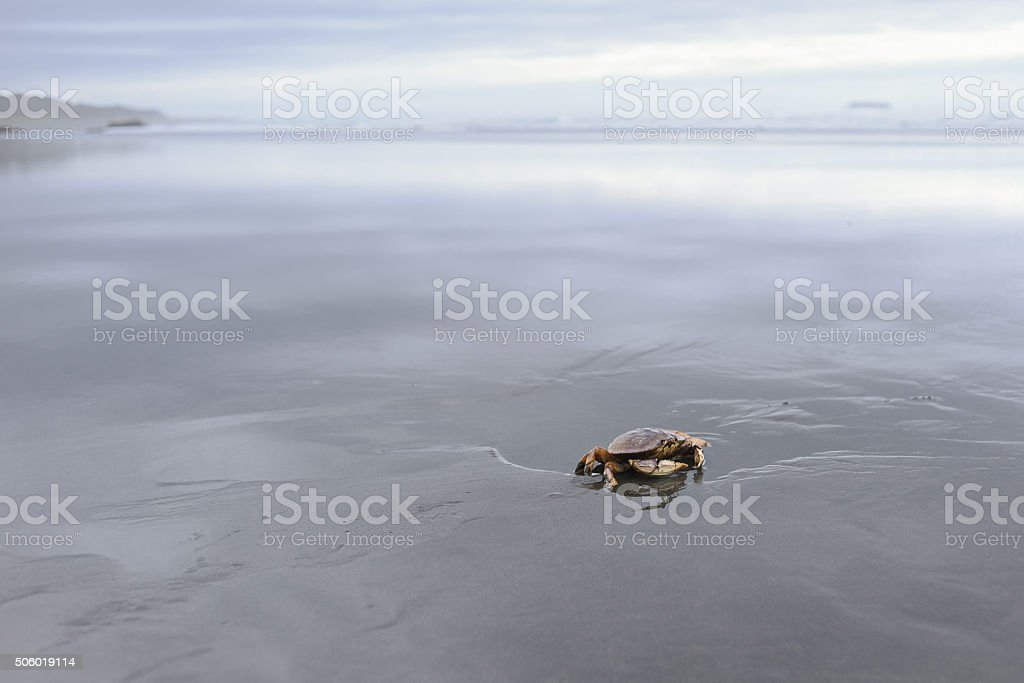 lone Dungeness crab at low tide stock photo