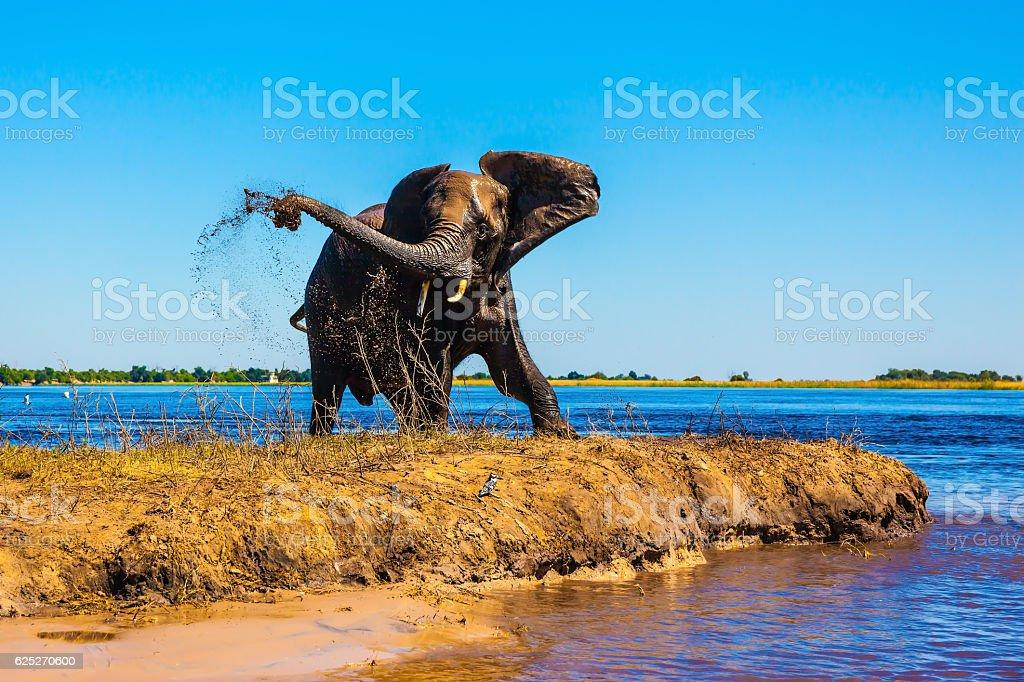 Lone elephant clean river silt foto