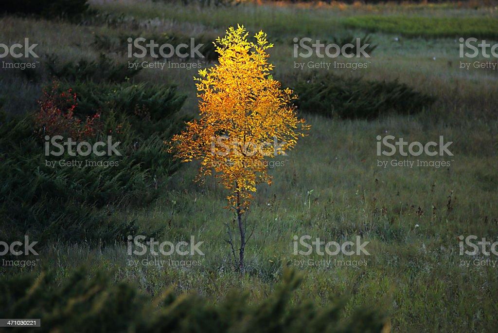 lone elm tree, sunlit stock photo