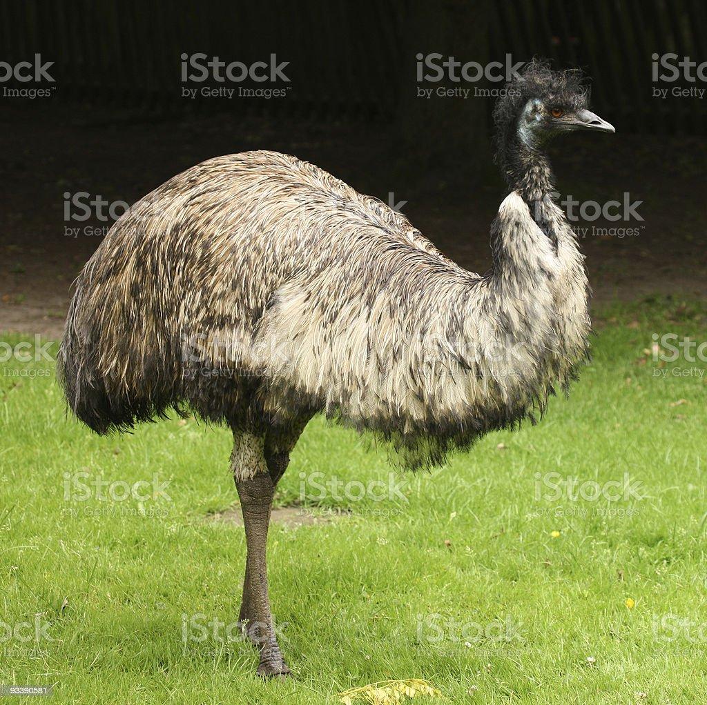 Lone Emu standing on green grass stock photo