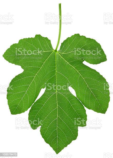 single fig leaf XXL isolated on white with clipping path