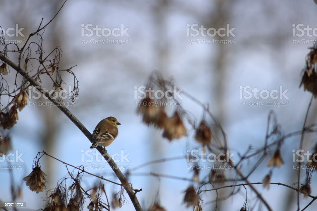 Lone Goldfinch 免版稅 stock photo