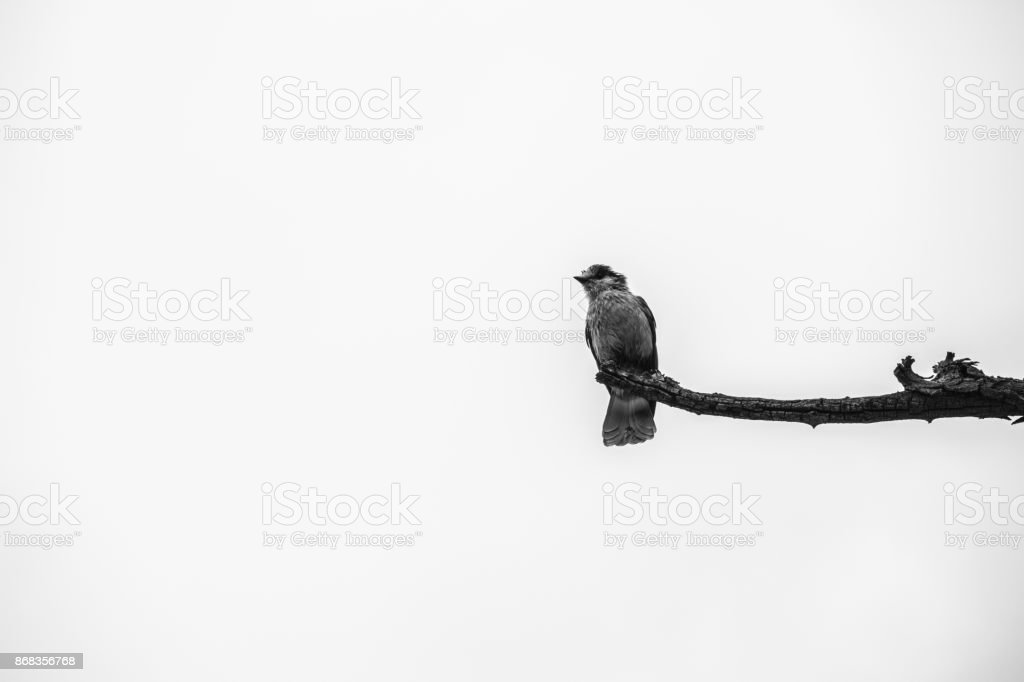 Lone gray jay on branch black and white stock photo