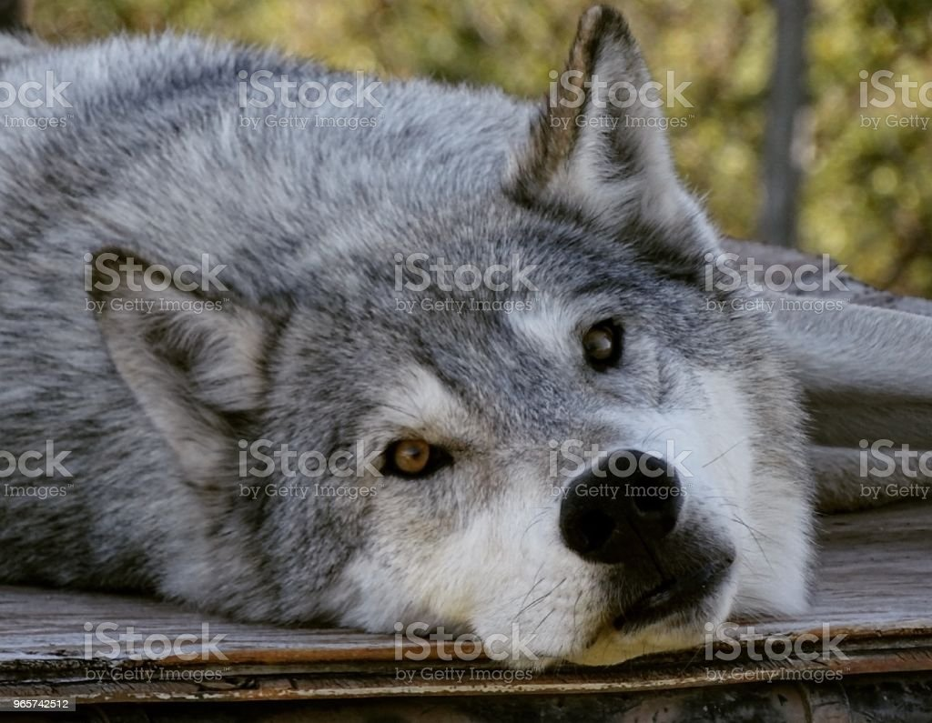 Lone Gray Wolf Camp Verde AZ - Royalty-free Animal Stock Photo