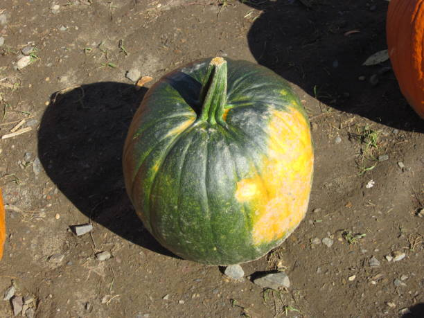 Lone Green and Yellow pumpkin stock photo