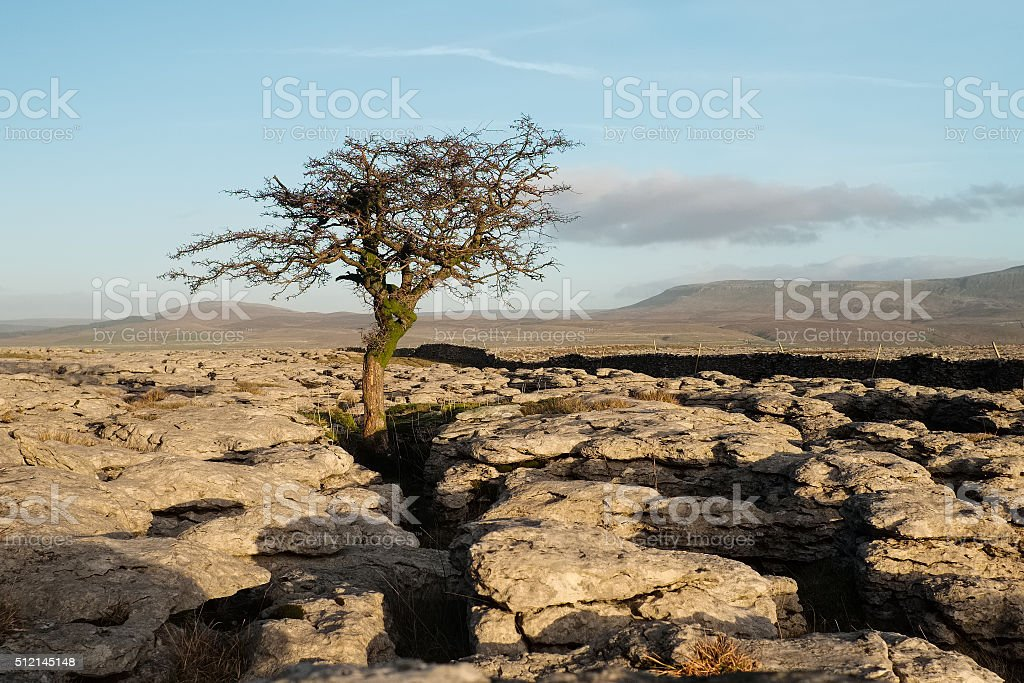 Lone hawthorn tree in late afternoon sun, Ingleborough, North Yorkshire stock photo
