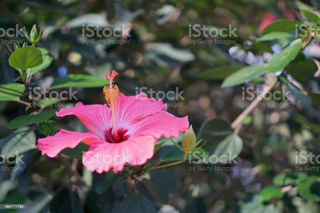 Lone Hibiscus stock photo