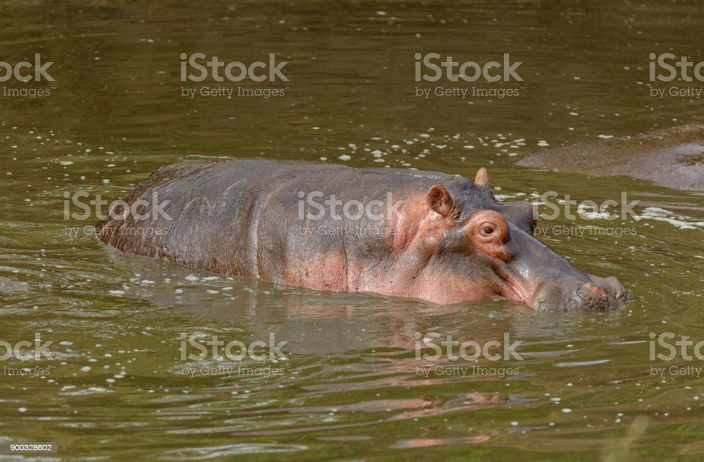 lone Hippopotamus stock photo