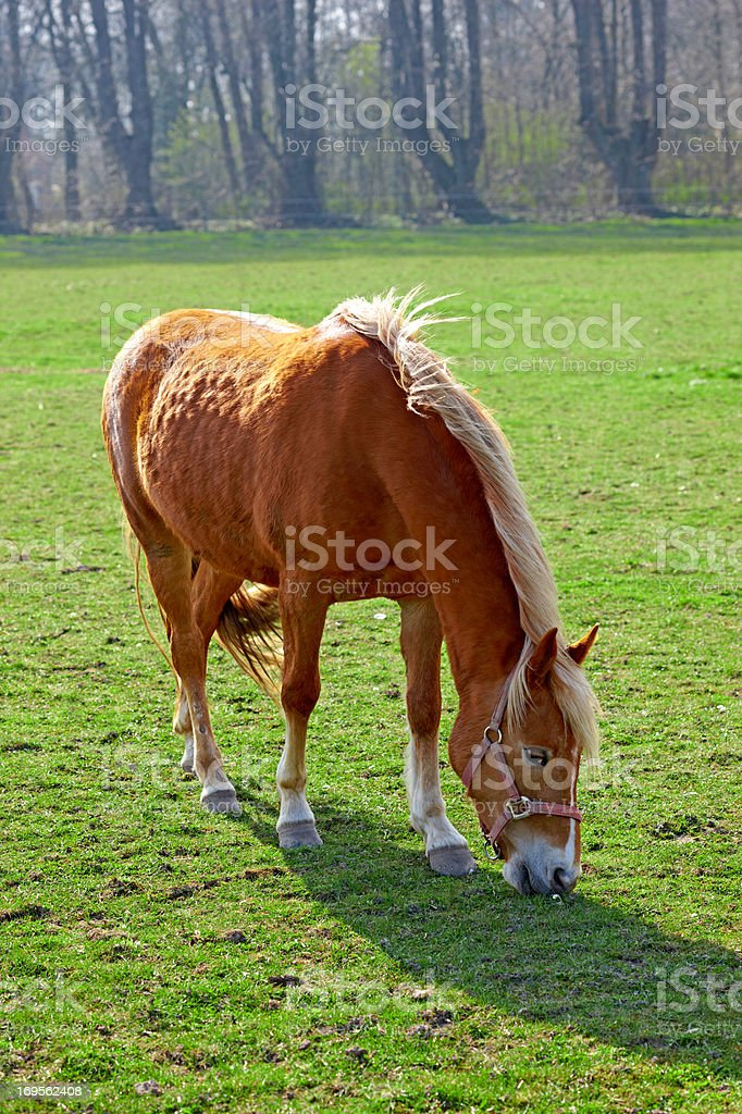 Lone horse grazing peacefully stock photo