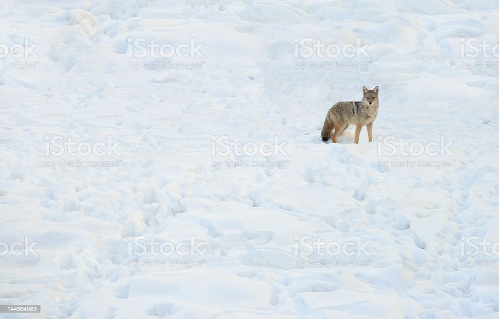 Lone Hunter stock photo