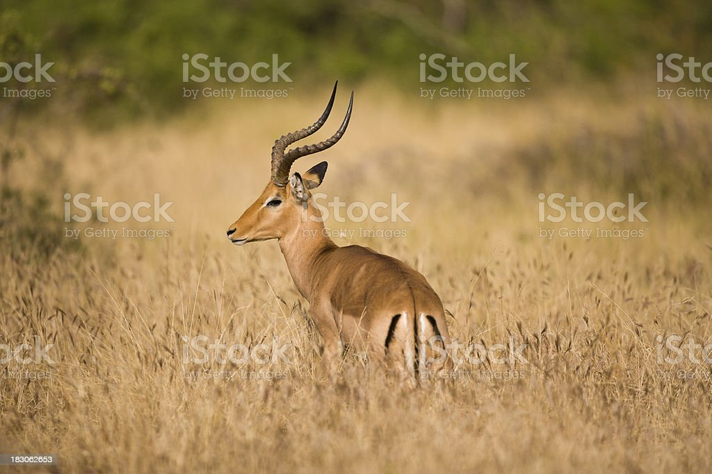 Lone impala royalty-free stock photo