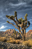 A lone Johua Tree stands isolated in red Rock Canyon.