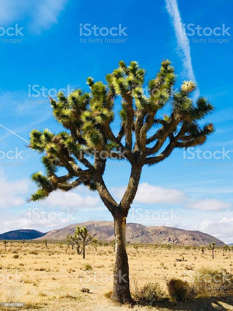 Lone Joshua Tree stock photo