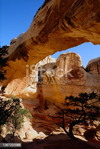A silhouetted juniper tree is standing tall underneath the Hickman Natural Bridge in Capitol Reef.