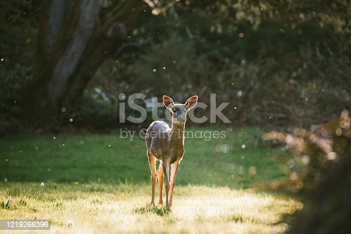 A young female doe is backlit by the sun in Washington state.  A beautiful Pacific Northwest nature scene.