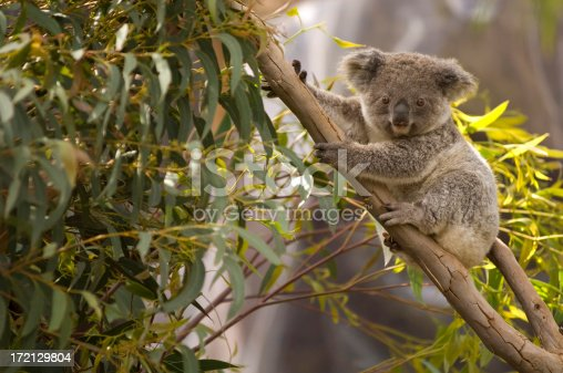 An Australian koala Bear perched in a gum tree overlooking the scenery.