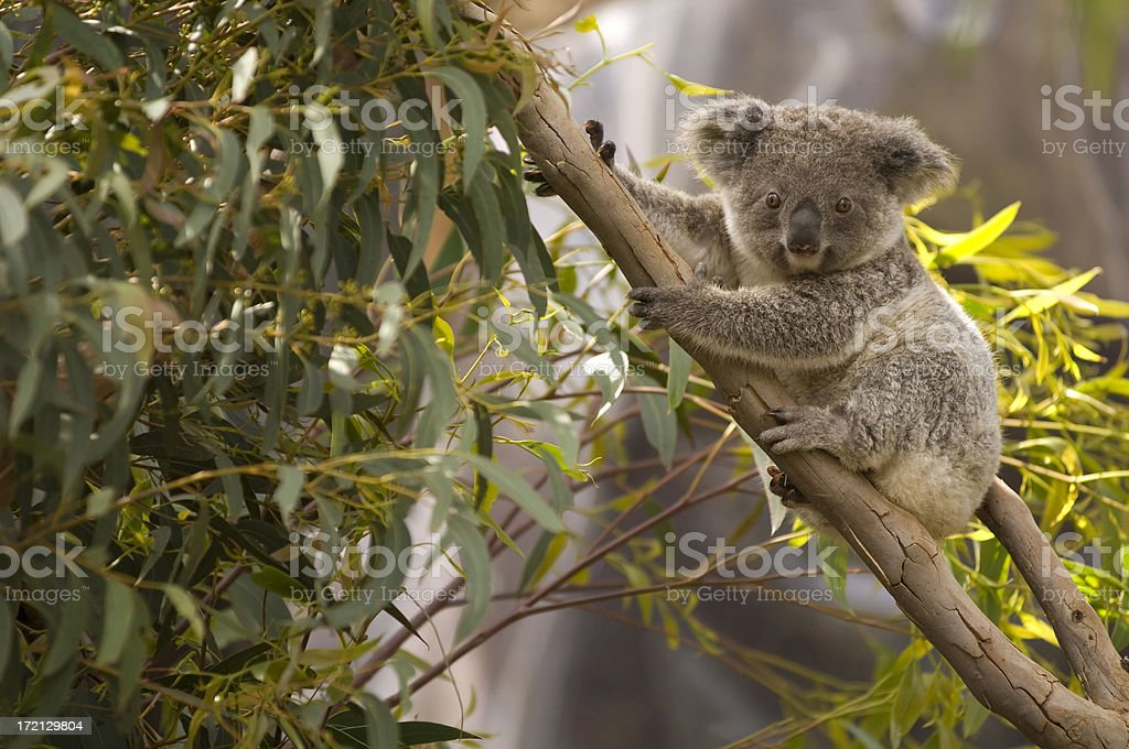 Lone koala hanging on the branches of a tree stock photo