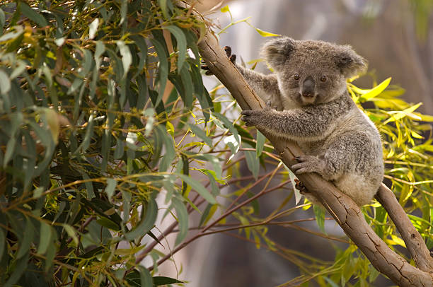 lone koala hanging on the branches of a tree - 哺乳動物 個照片及圖片檔
