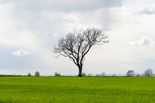 Lone leafless big tree in a green corn field stock photo