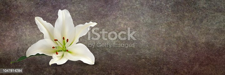 a single white lily head with rustic style on a wide warm brown graduated background and copy space on right side ideal as a website banner head