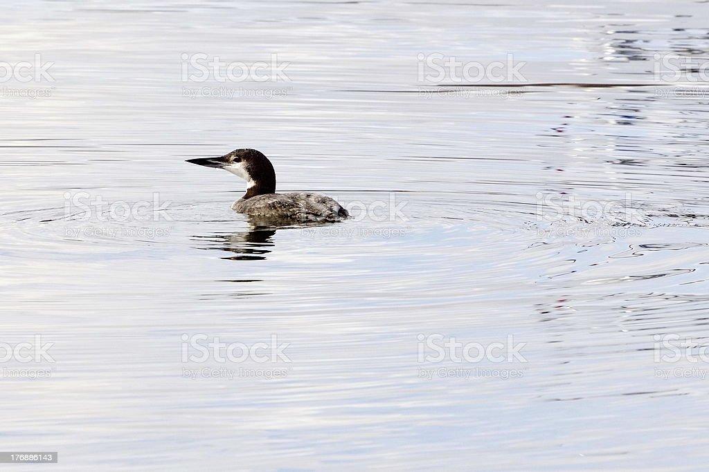 Lone Loon stock photo