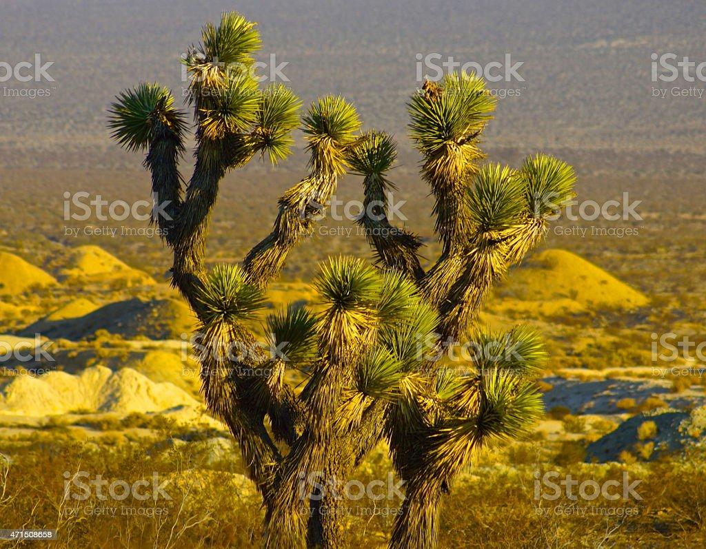Lone Mojave Joshua Tree stock photo