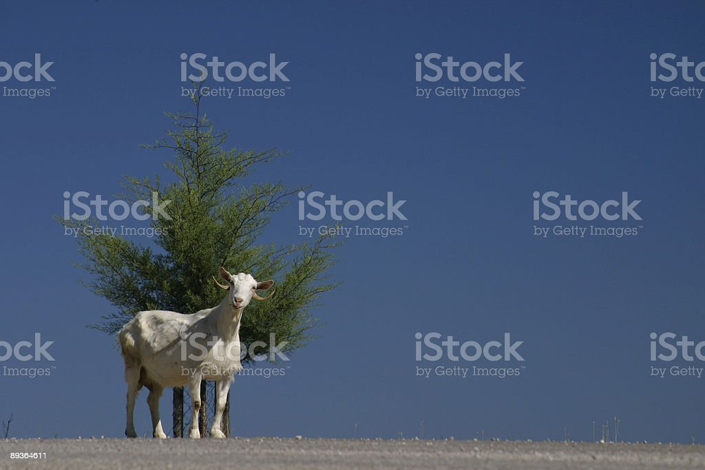 Lone mountain goat royalty-free stock photo