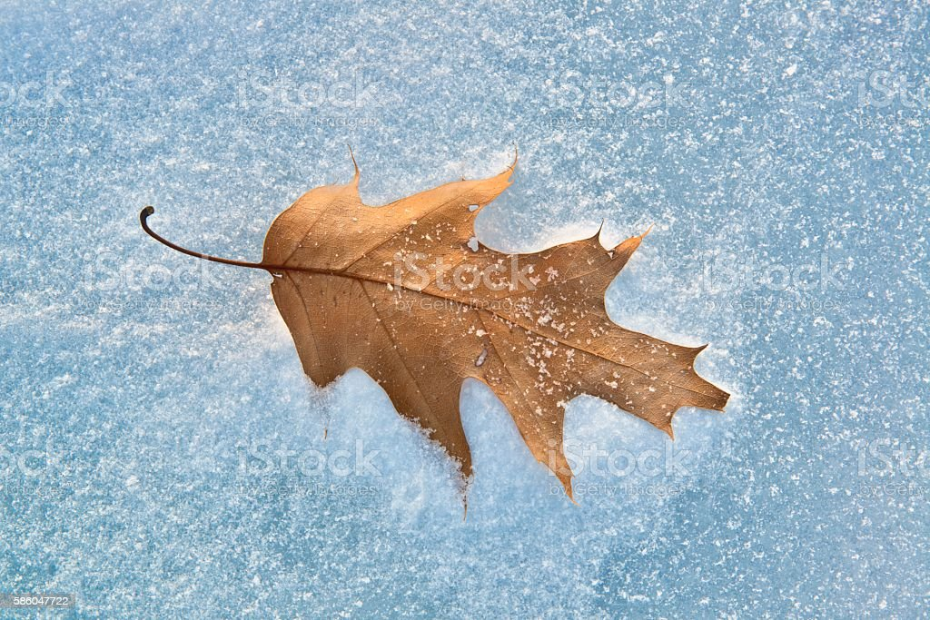 Lone Oak Leaf in Snow on a Frozen Minnesota Lake stock photo