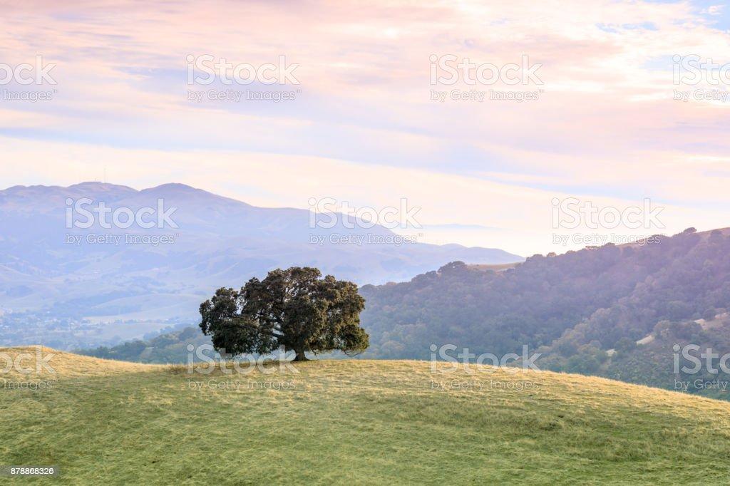 Lone Oak Tree in Bay Area Landscape. stock photo