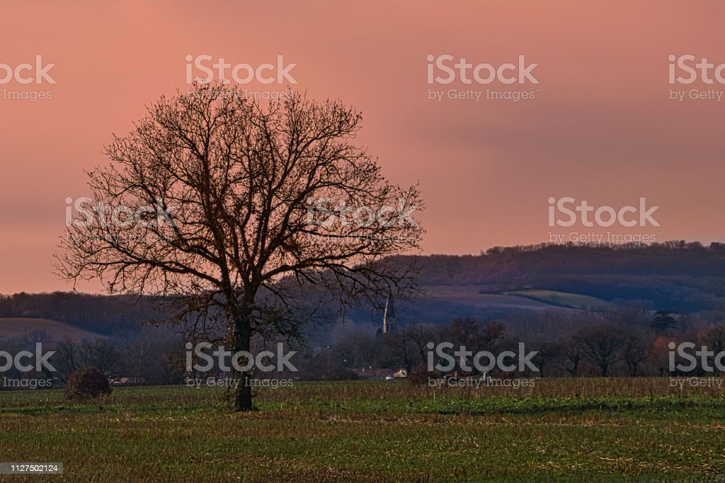 Lone oak tree stock photo