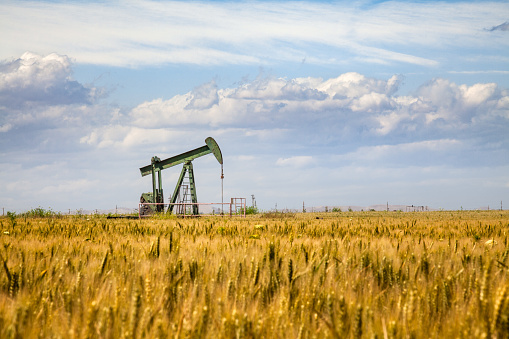 An oil pump looms overs a crop of wheat in Bakersfield, California, where the agricultural production of the Central Valley is often in close proximity with petroleum deposits.
