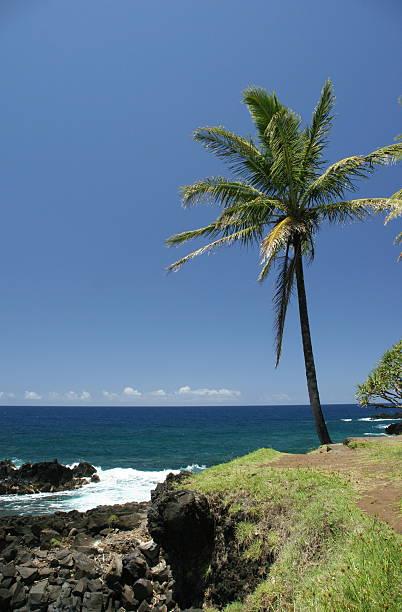 Lone Palm Tree stock photo