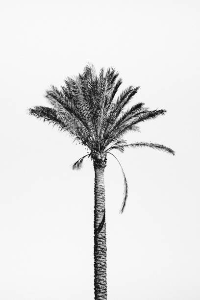 Lone palm tree - Sicily stock photo