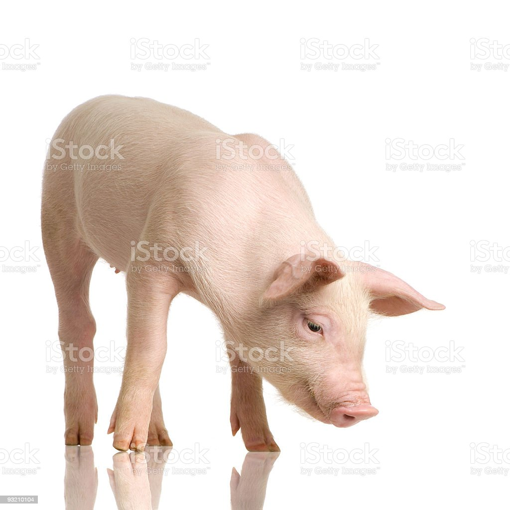 Lone pig looking down, isolated on a white background stock photo