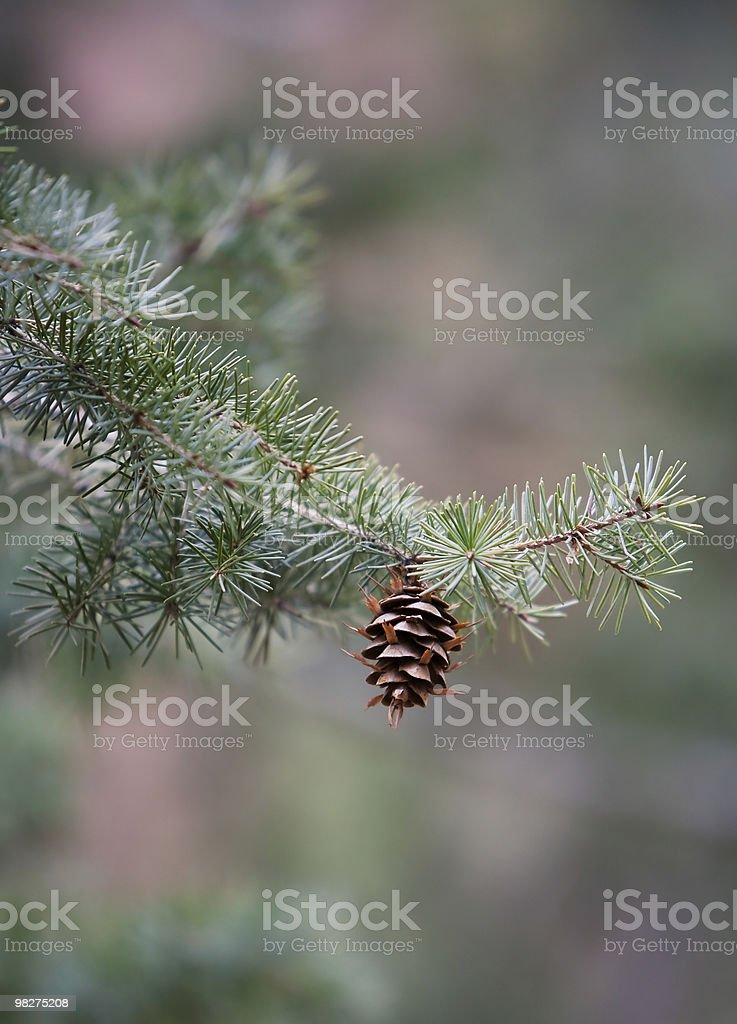 Lone Pine Cone royalty-free stock photo