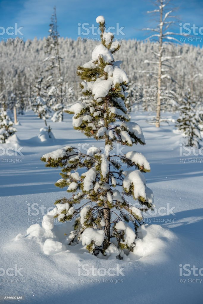 Lone pine tree could be used for Christmas and decorate stock photo